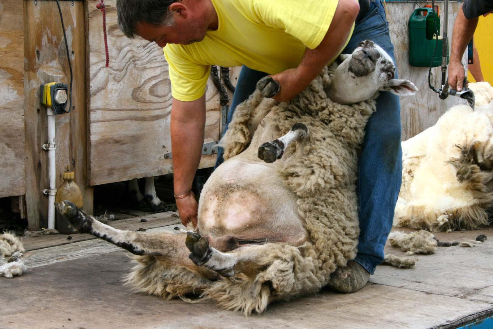 shearing1.jpg